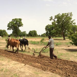 Agricultural work, sesame channel, Mali